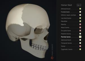 360 Human Skull